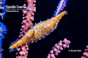 Spindle Cowrie