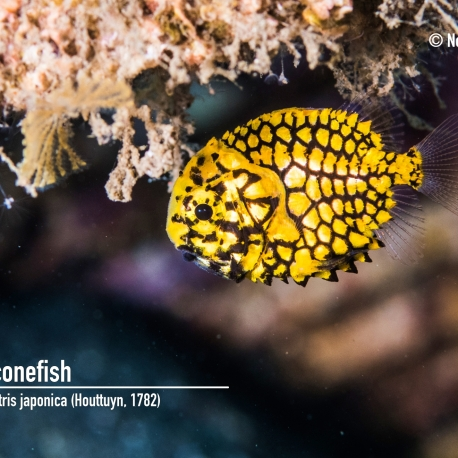 Pineconefish