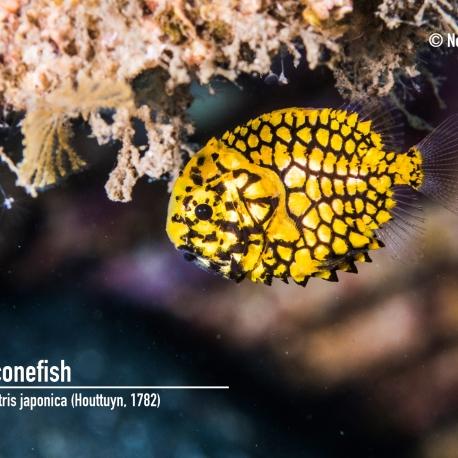 Pineconefish