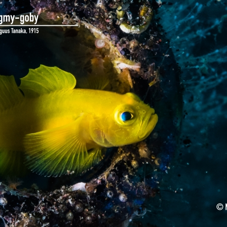 Yellow pygmy-goby