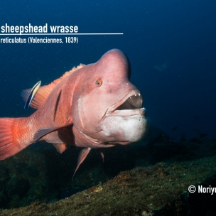 Asian sheephead wrasse