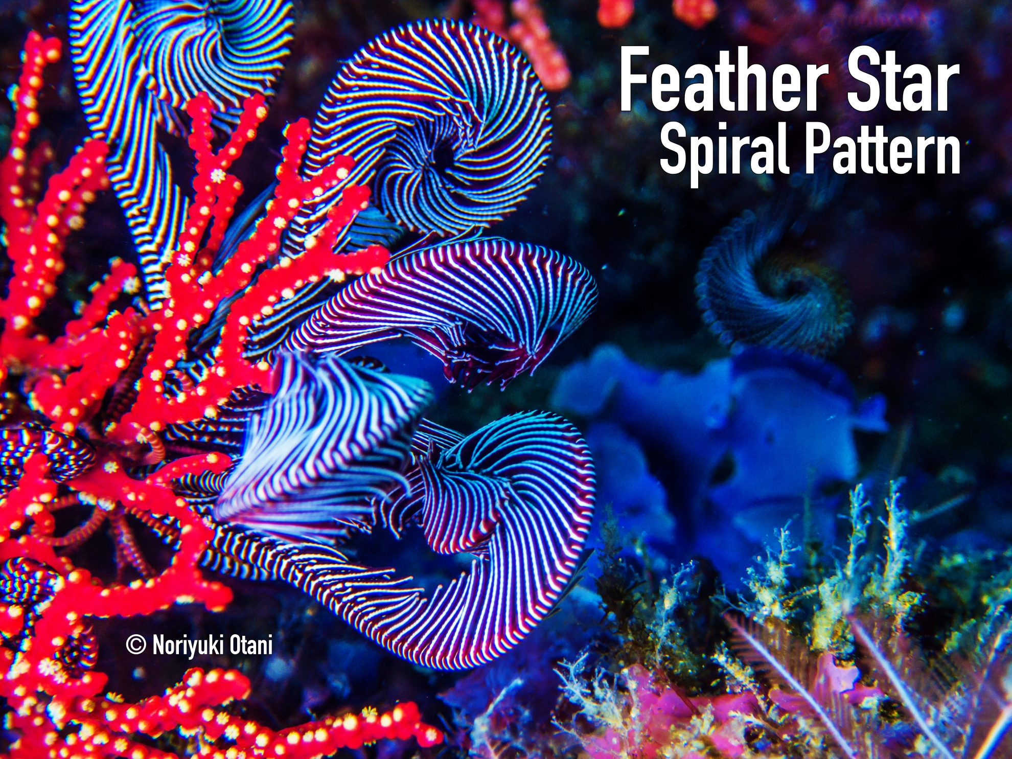Spiral Pattern in Feather Star ウミシダ 螺旋