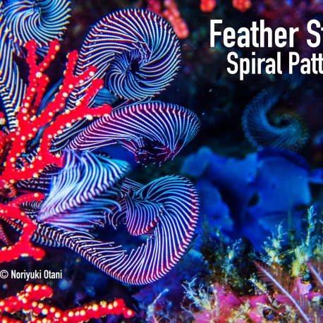 Feather Star in purple color