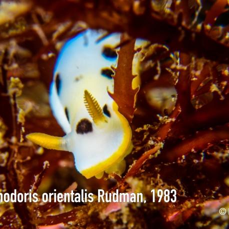 Chromodoris orientalis Rudman, 1983
