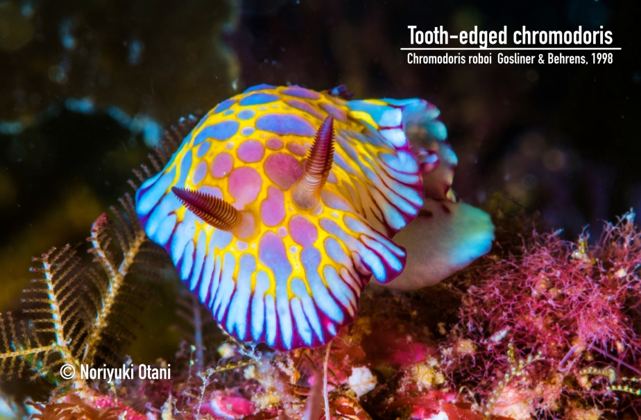 Tooth-edged chromodoris